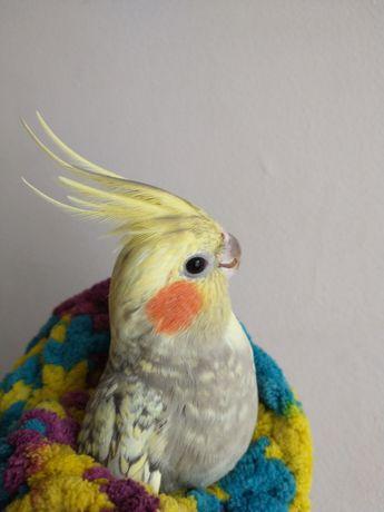 Papugi Nimfy,para