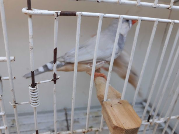 Vendo casal Aves mandarins