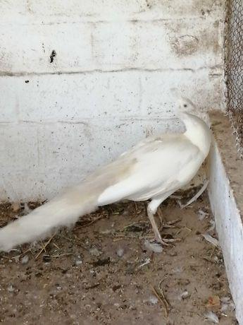 Pavão branco macho