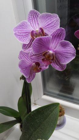 Продам орхидею миди, растет два цветоноса