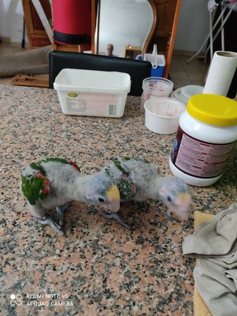 Papagaios amazonas oratrix