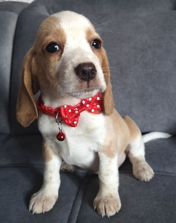 Beagle bicolor ostatnia Sunia już do odbioru