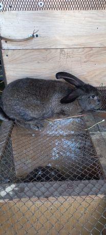 Sprzedam króliki tanio