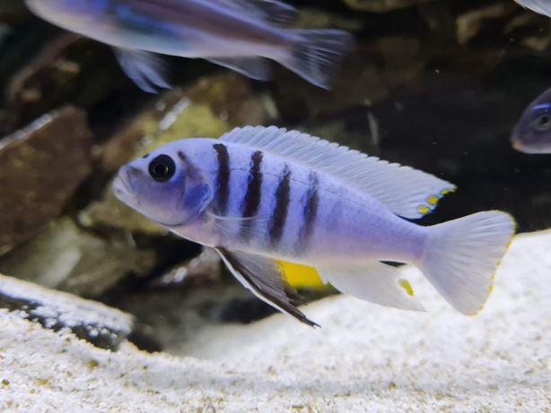 Cynotilapia Hara Galireya Reef MŁODE PO F2