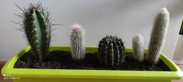 Kaktusy różne gatunki