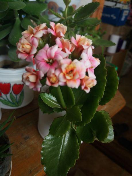 Каланхоэ цветущий розовый