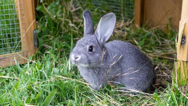 Ekologiczne króliki żywe i tuszki