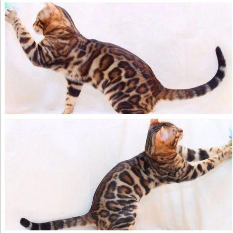 Шикарный  Бенгальский кот вязка.