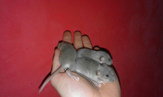 Szczury szczurki niebieskie dumbo american blue
