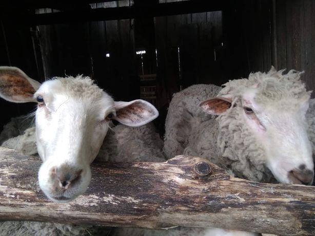 Owce i Barany sprzedam