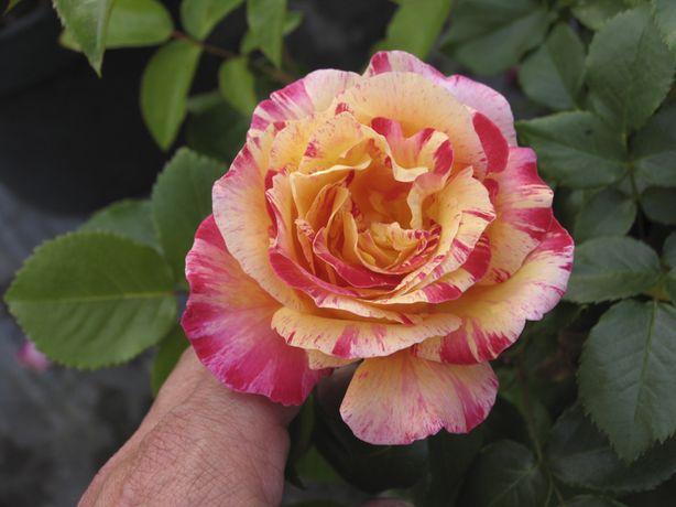 SUPER RARO - Rosa Variegata Tricolor - FLORES Para colecionador