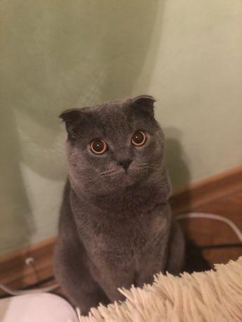 Веслоухий шотландець чекає на в'язку з вашої кішкою