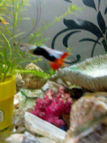 Рыбки Гуппи взрослые