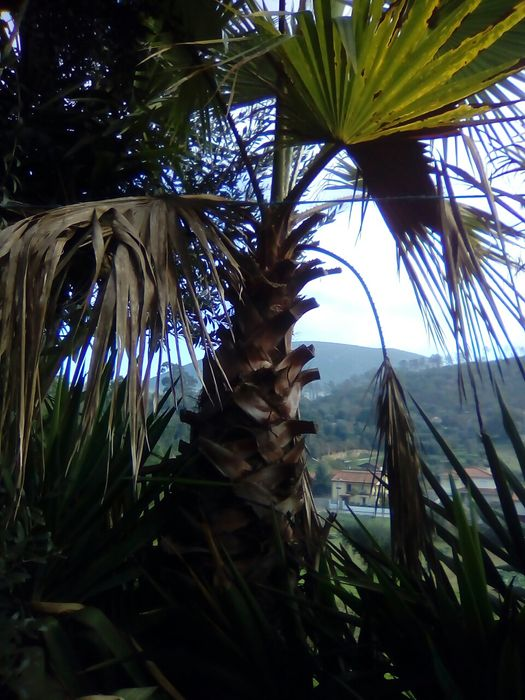 Palmeiras de leque huachigtonia robusta