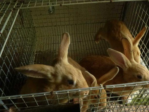 coelhos para criação ou consumo