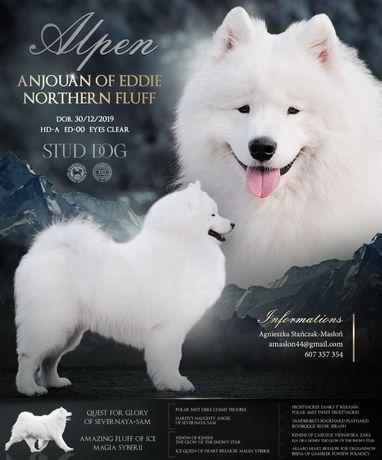 Samoyed/Samojed Northern Fluff FCI - Reproduktor