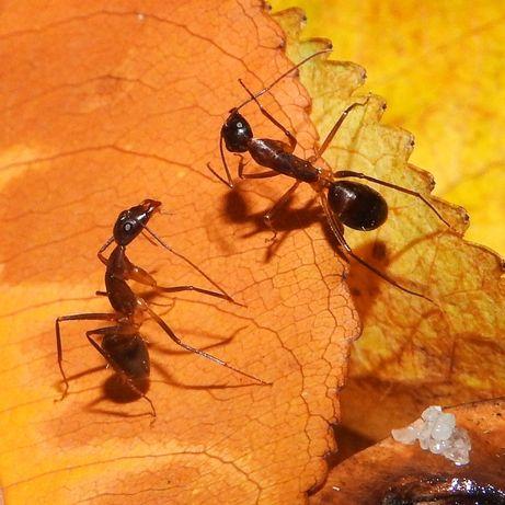 Передержка муравьёв . Муравьи
