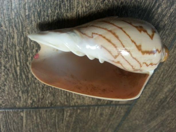 Большая морская ракушка мушля декор сувенир 10 см