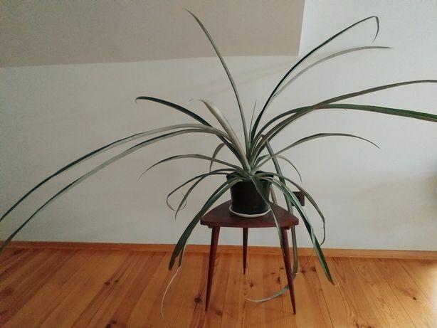 ANANAS roślina żywy ananas GIGANT doniczka