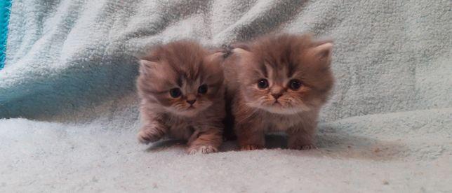 Malutkie kotki perskie