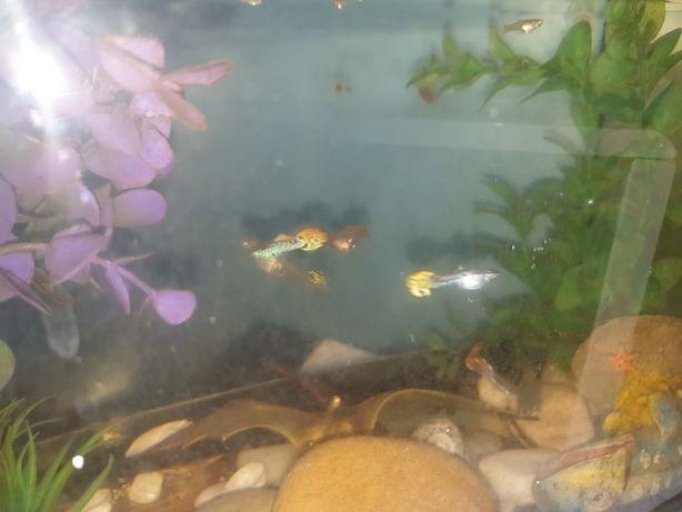 Peixes guppys e alevinos