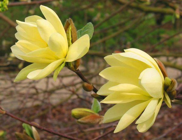 Magnolia, Magnolie Żółta - różne odmiany