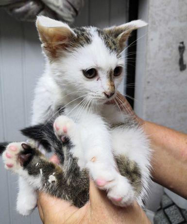 Do adopcji ok. 3 miesięczna koteczka