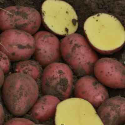 Ziemniaki czerwone żółtei inne sadzeniaki wiele odmian cena za 15 kg