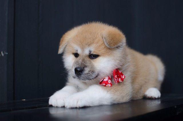 Купить щенка Акита ину в Украине.