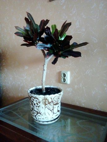 Кімнатна рослина Кротон