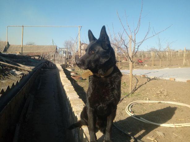 Продам щенка чёрной немецкой овчарки через предварительный заказ.