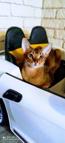 Абиссинская  кошка вязка