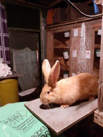 Samica królika olbrzyma belgijskiego żółtego