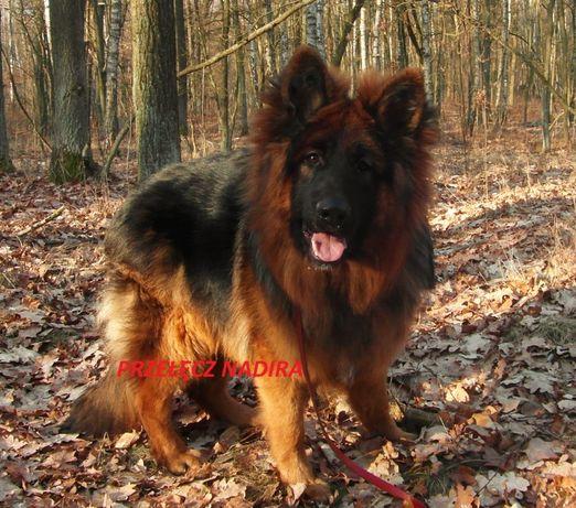 Owczarek niemiecki, owczarki niemieckie - szczeniaki.