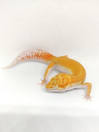 Gekon lamparci Tangerine Tremper Albino poss W&Y het Eclipse SAMIEC