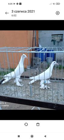 Gołębie bociany dolnośląskie