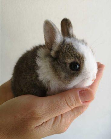 KIT completo coelhos anões angorá, minitoy e holandês mini