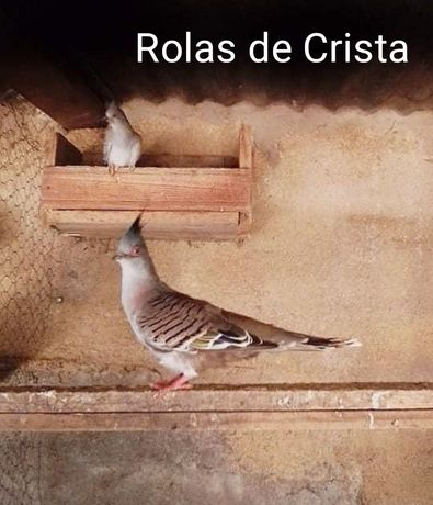 Casais de aves: rolas e pombas!