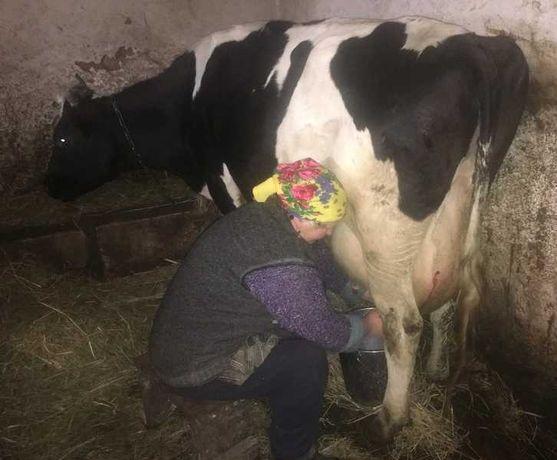 Корова Голштинка молочна