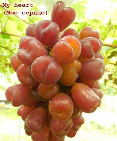 От производителя, саженцы винограда