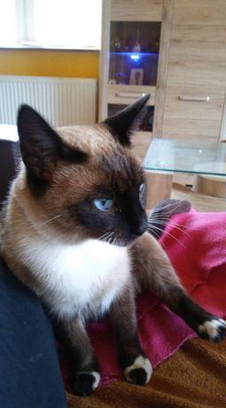Zaginęła kotka w typie syjamskim/tajskim