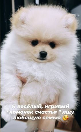 Померанский шпиц, щенок (мальчик) 3 месяца, привит