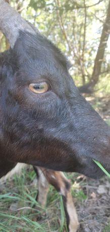 Продаю коз  икозенят