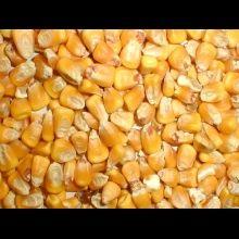 Kukurydza sucha ziarno