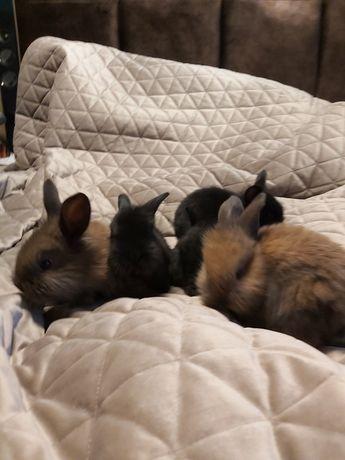Baranki króliki miniaturki-  królik baranek miniaturka