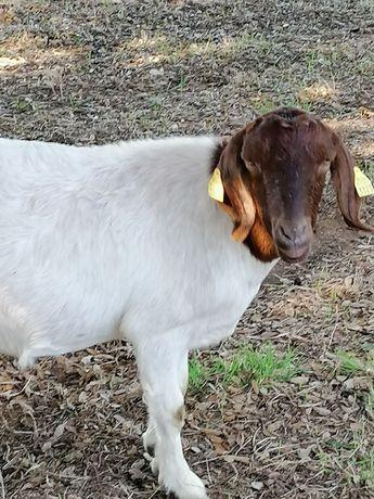 Cabras Boer adultas