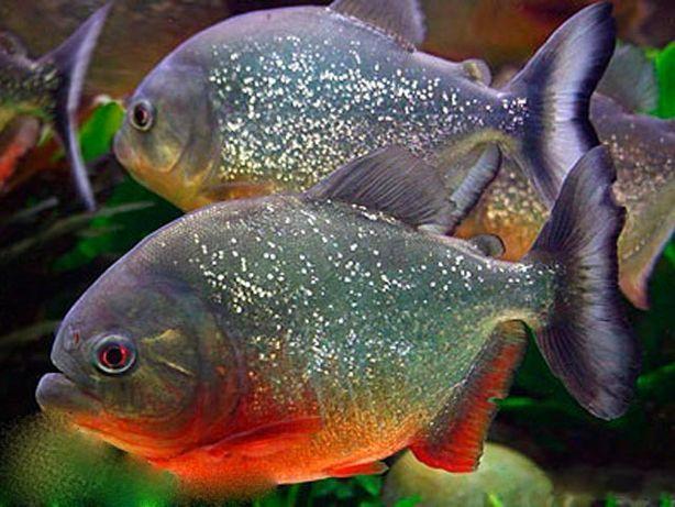 Хищная пиранья натеррера ( Индонезия) аквариумная рыбка