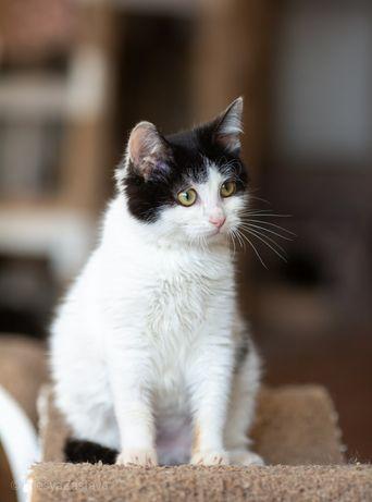 5 мес, Маркиз Сметанкин,  котик, кот, красивый котенок