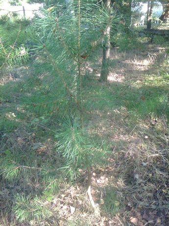 Sosenki, brzozy , młode dęby/ młode drzewka.