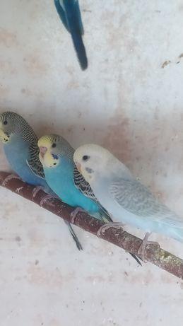 Papugi faliste z 2021r